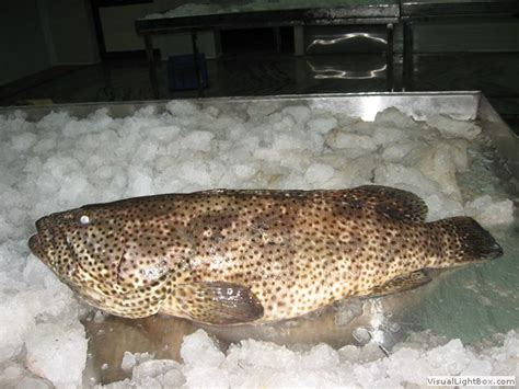 grouper spotted wr brown yellow fin