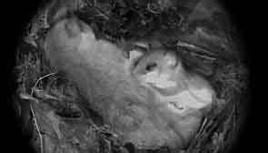Können Mäuse Klettern : siebenschl fer erkennen und verwechslung mit marder eichh rnchen ratte oder maus vermeiden ~ Markanthonyermac.com Haus und Dekorationen