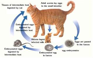 how to get rid of tapeworms in cats cat worms the symptoms and how you can get rid of them