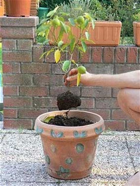 planter un citronnier en pot le midi libre magazine planter un citronnier ornemental