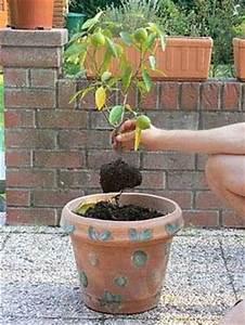 Planter Un Citronnier : le midi libre magazine planter un citronnier ornemental ~ Melissatoandfro.com Idées de Décoration