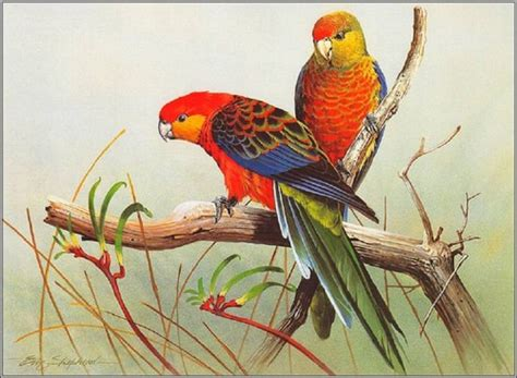 Australia Images Rosellas Hd Wallpaper And Background