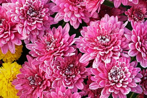 Wintering Mums: Tips For Winter Care For Mums