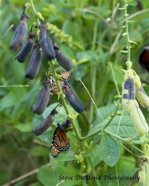 crotalaria showy horses animal pods florida medicine