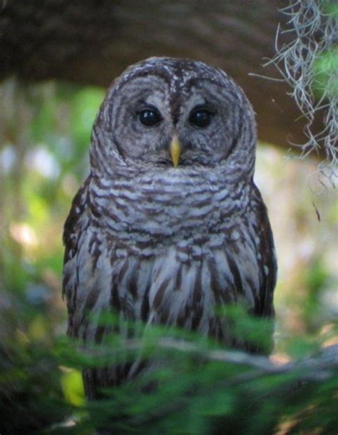 statewide bird survey looking for owl nests endangered