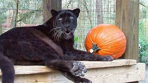 Black Leopard Birthday! - YouTube
