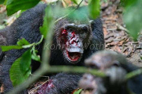 chimpansees moments  nature konrad wothe