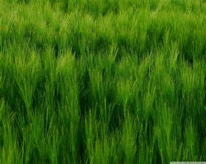 Barley Field Standard