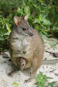 bennett's wallaby | Wildlife Press
