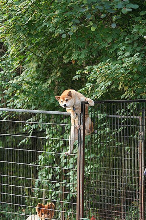 hilarious shiba doge inu  stuck everyday