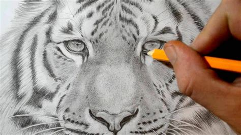 draw  tiger realistic pencil drawing youtube