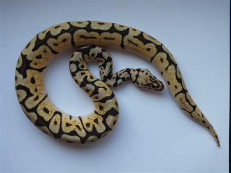 100 ball python shedding and feeding care sheet