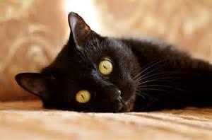 black cat breeds black cat breeds and history petcha