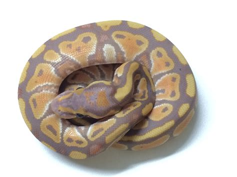 Ektorp Sofa Bed Cover Ebay by 100 Ball Python Shedding And Feeding Care Sheet