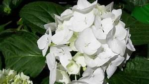 Hortensien Blau Färben Essig : hortensie letztes jahr noch blau pflanzen botanik green24 hilfe pflege bilder ~ Bigdaddyawards.com Haus und Dekorationen