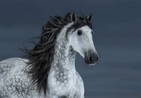 andalusian horse breeds expensive ventured