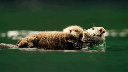 Animals Animated Couple Wild Otters Spy Pbs