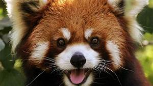 Red Panda Baby Reaction - Too Cute!!! - YouTube