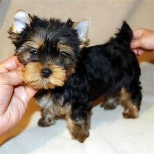 Carrie - Teacup Yorkie Puppy. She most likely will be ...