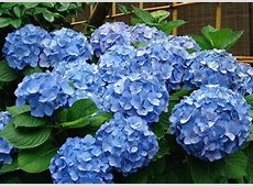 Pruning Hydrangea Varieties Hydrangea Care Tips The