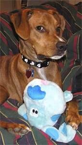 Dog Breed Exercise Chart Vizsla And Hound Mixed Breed Dog Online Dog Encyclopedia