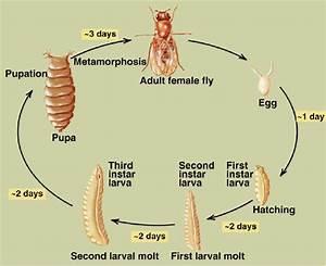 Diagram Of Drosophila Life Cycle