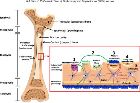 Figure 1 from Regulation of cortical and trabecular bone ...