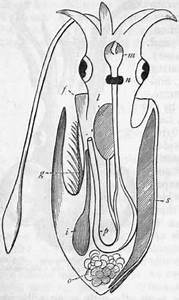 Chapter Xlviil  Cephalopoda