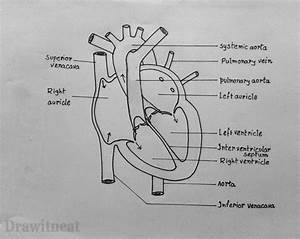 Draw It Neat  How To Draw Internal Structure Of Human