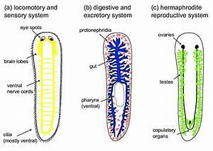 6   The Body Plan Of The Flatworm Schmidtea Mediterranea