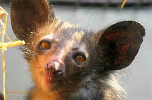 Aye Aye Animal Madagascar