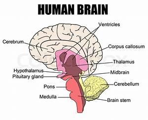 Anatomy Of Human Brain  Vector