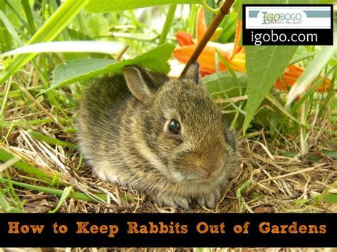 how to keep bunnies out of your garden how to keep rabbits out of gardens growing your own