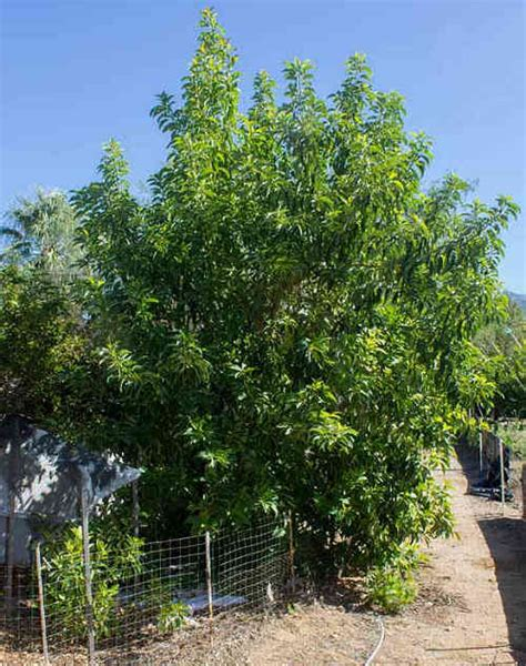growing avocados persea americana