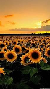 Download, Sunflower, Field, Backgrounds, Hd, Wallpapers, Desktop