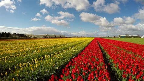 tulips bed farm hd tulips tulipa hemisphere in a field in the netherlands stock footage video 849328 shutterstock