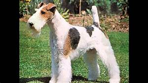 fox terrier de pelo duro - YouTube
