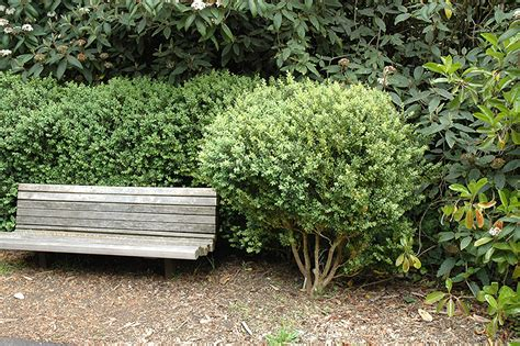 Common Boxwood (Buxus sempervirens) in Boston Hopkinton