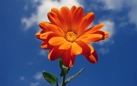 Orange Wallpaper Flower by Orange Flower Hd Wallpapers