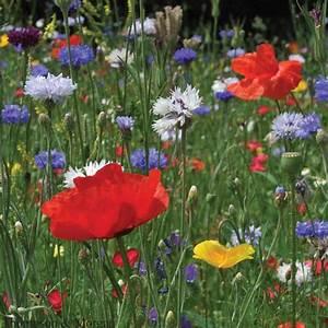 Graines Fleurs Des Champs : cornfield mixture m lange fleurs des champs fleurs sauvages annuelles en m lange ~ Melissatoandfro.com Idées de Décoration