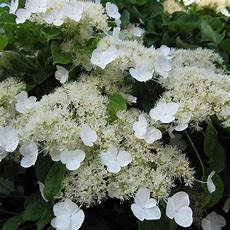 Buy Hydrangea Climbing Plants Online At Best Sale Prices