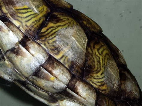 res turtle shell shedding can someone tell me whats wrong with my res shells