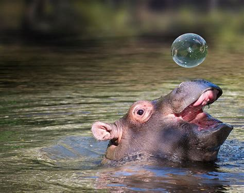 baby hippos adorable cheer these