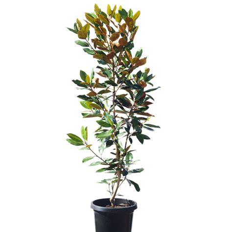 magnolia grandiflora gem 30cm 300mm