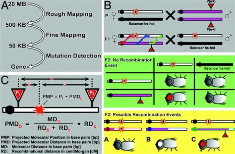 mapping drosophila mutations  molecularly defined p