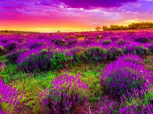 Landscape, Field, With, Purple, Spring, Flowers, Beautiful