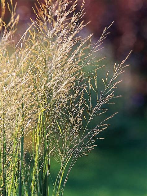 types of ornamental grasses for landscaping 17 best images about gorgeous garden plants on pinterest sun the plant and shade flowers