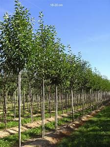 Johannisbeeren Hochstamm Kaufen : kaufen sie hier die baummagnolie als bereits ~ Lizthompson.info Haus und Dekorationen