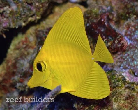 yellow scopas tang   brighter   yellow