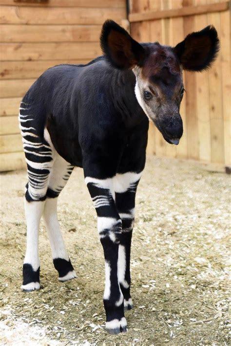 Brookfield Zoo Shares Photos Of Newest Okapi Zooborns